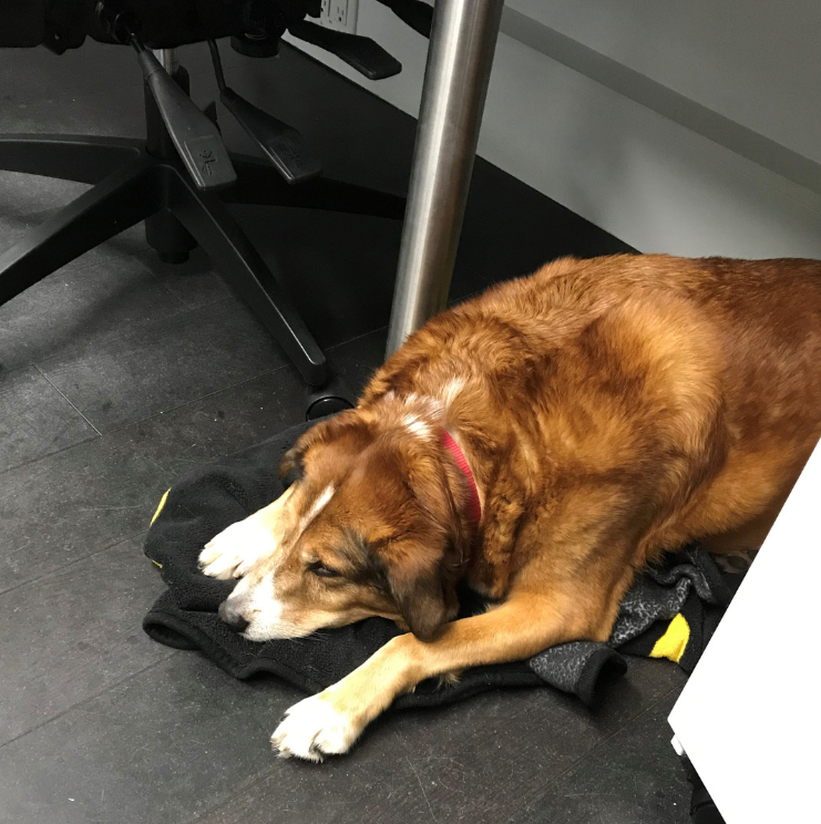 Dogs in the office: Bolt (Chief barketing Officer at Invero)