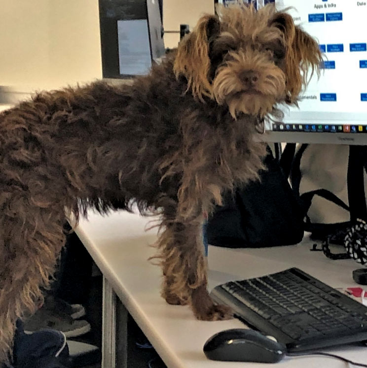Merlin the dog standing up on computer desk
